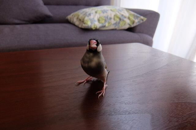これから実習に協力する我が家のかわいい文鳥